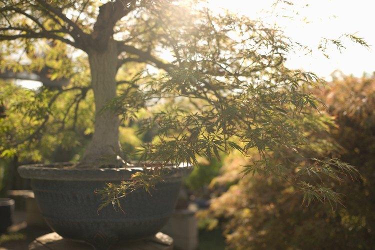 Cualquier tipo de árbol puede ser utilizado para crear un adecuado bonsái.