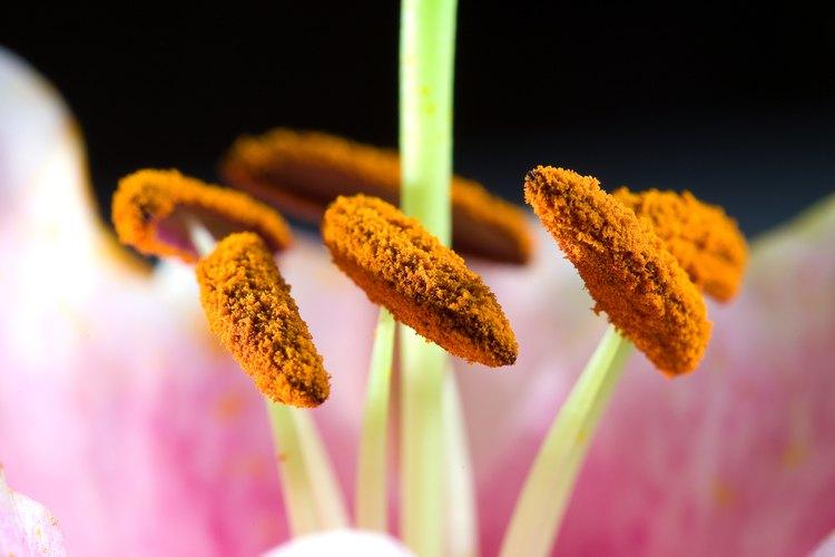 En el centro de la flor rodeados de los estambres están los órganos reproductores femeninos llamados el pistilo.