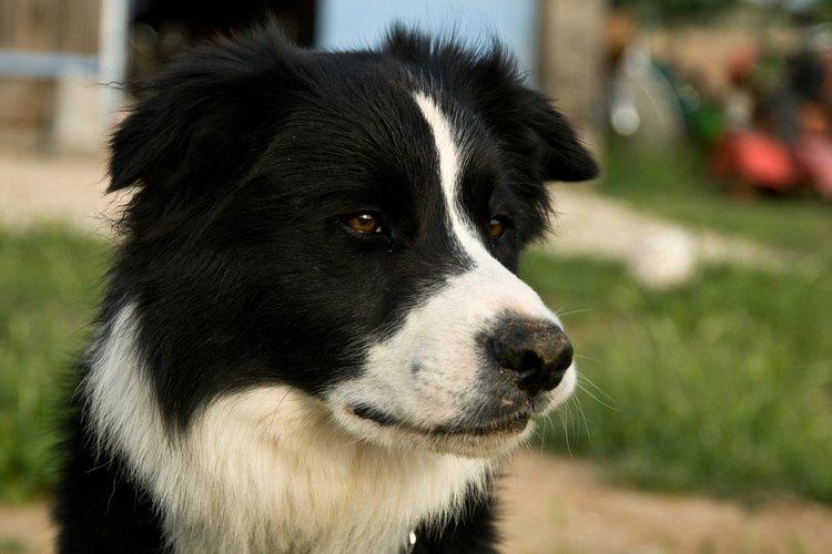 Las perras tienen cuatro etapas en su ciclo reproductivo.