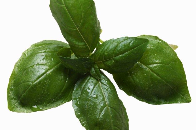 Las hojas de albahaca tienen un sabor ligeramente picante y un aroma dulce.