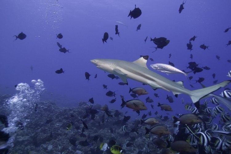 Algunas especies de tiburones son aptos para los acuarios tropicales.