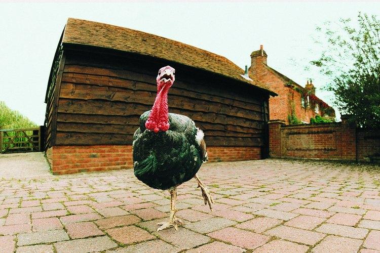 El pavo es el símbolo de la fiesta de Acción de Gracias.