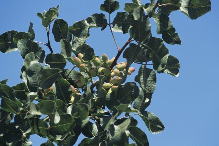 Para podar los pistachos usa la técnica de la poda abierta.