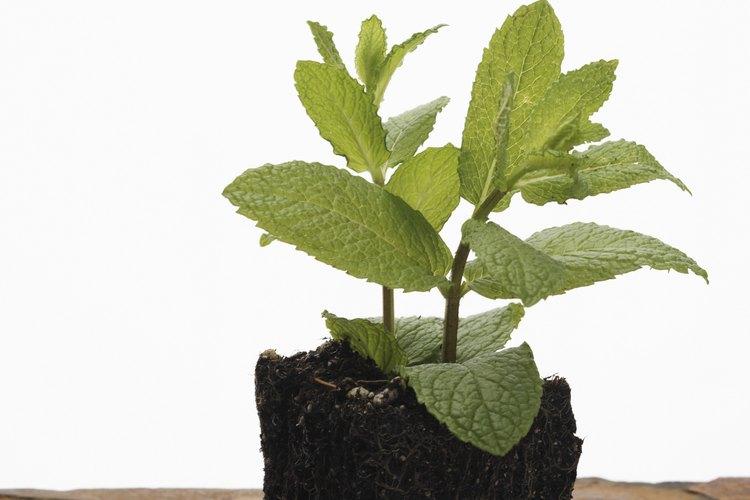 La planta de menta es susceptible a enfermedades fúngicas.