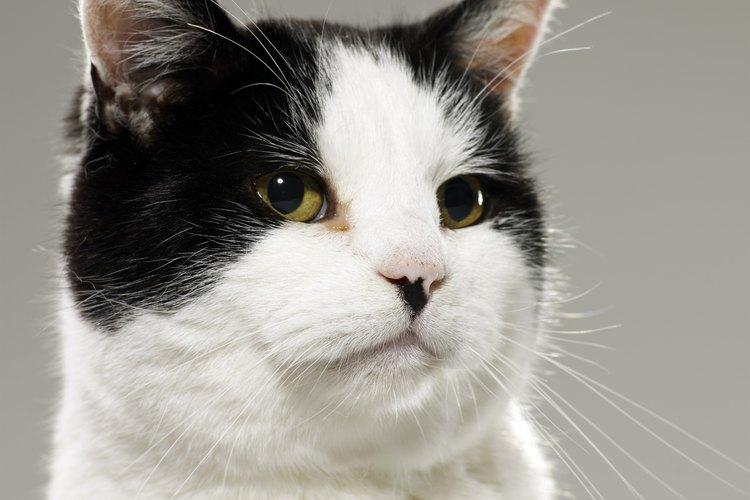 Gato bicolor.