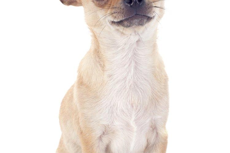 Los chihuahuas son la raza de perros más pequeña.