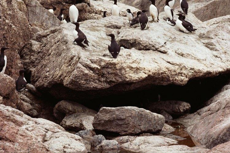 Existen 17 especies conocidas de pingüinos, los cuales varían en tamaño, color y comportamiento.