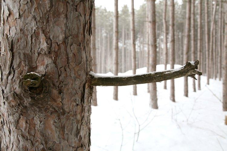 Los depósitos de resina de pino secos se ven blancos y parecidos al mármol.