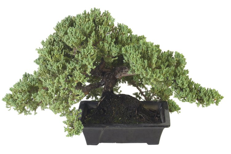 El árbol ciprés Hinoki necesita de un cuidado especial.