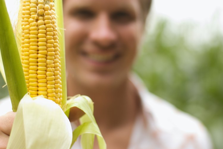 El maíz está listo para la cosecha cuando alcanza la fase de ordeño.