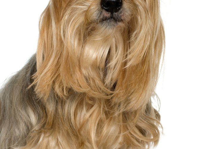 Un Yorkshire Terrier con pelo recortado alrededor de los ojos.