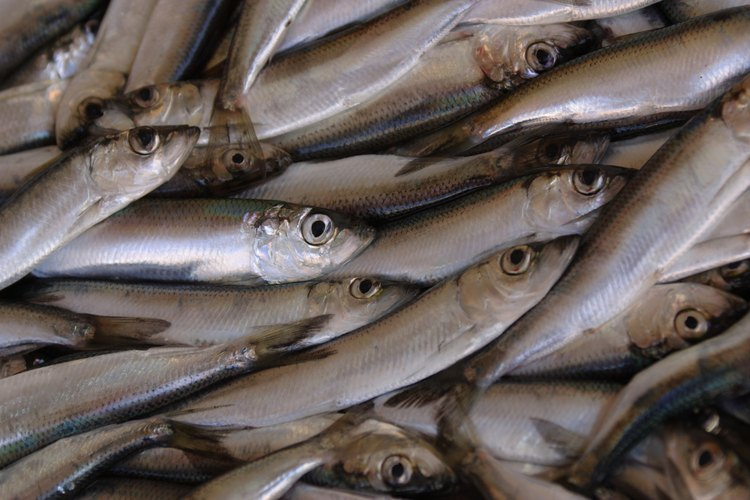 Las anchoas son una fuente de alimento común para muchos tipos de atún.