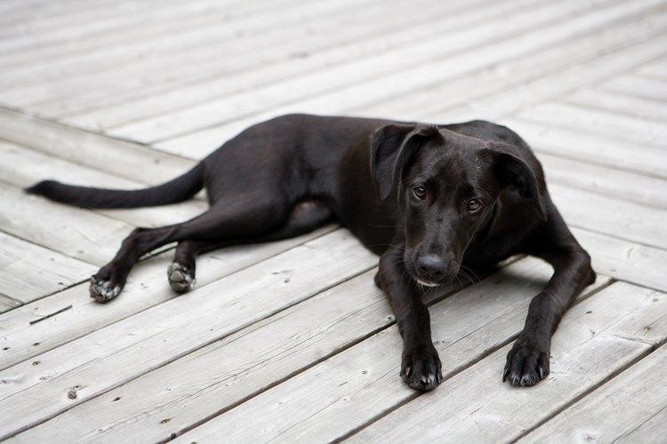 El labrador retriever es un perro que tiene doble pelaje.