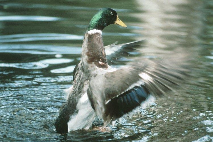 El pato silvestre es un pato de agua dulce.