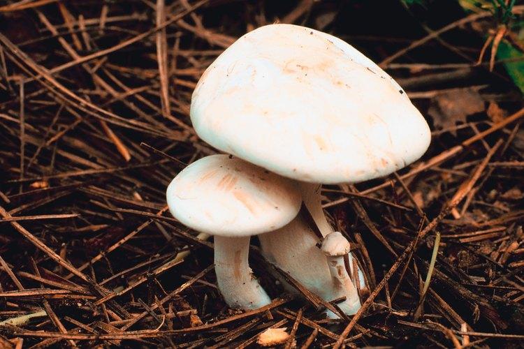 Los champiñones de prado son blancos y tienen sombreros de formas irregulares.