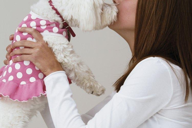 Un bichon frisé es pequeño y lindo, pero debe comer de un recipiente para perros como cualquier otro perro.