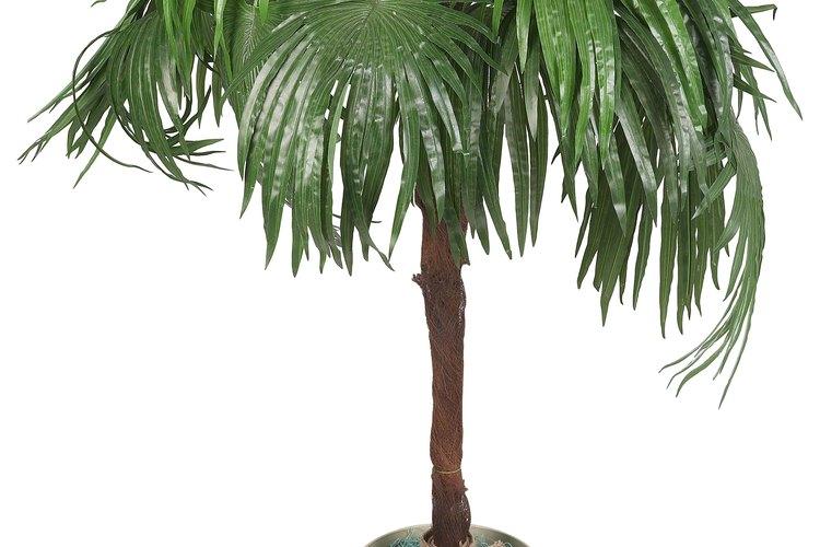 Las palmeras en macetas necesitan aplicaciones regulares de fertilizante para evitar los problemas nutricionales.