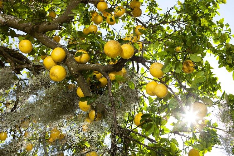 Para exuberantes frutas y hojas verdes, los árboles de cítricos requieren remojos pesados.