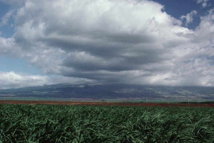 La caña de azúcar crece en campos parecidos a los del bambú.