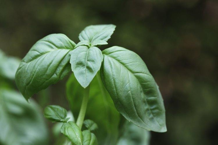 Las plantas de albahaca sanas tienen hojas enteras y resistentes.