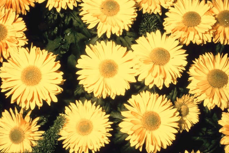 Los crisantemos vienen en una variedad de colores bajo especies con diferentes nombres.