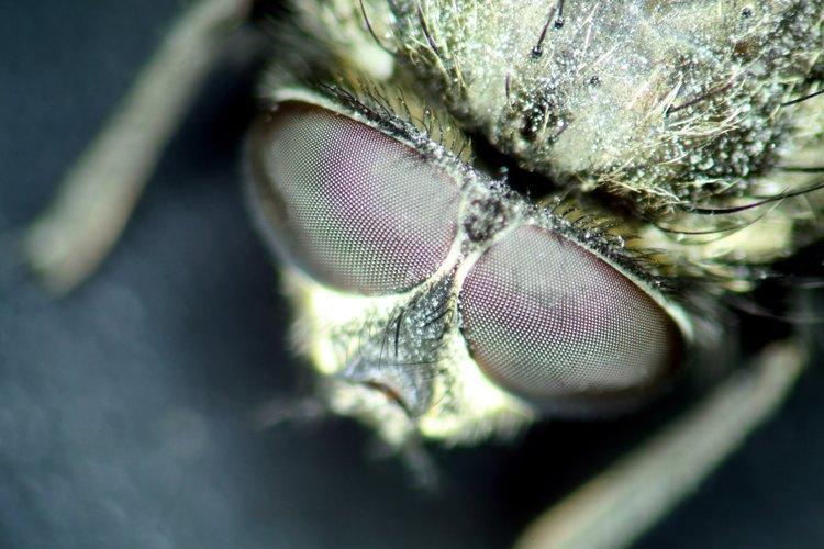 Las larvas de moscas son pequeños gusanos blancos que se arrastran alrededor de las casas.