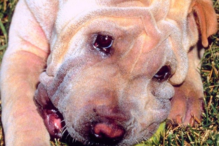 Primer plano de un cachorro de Shar Pei.