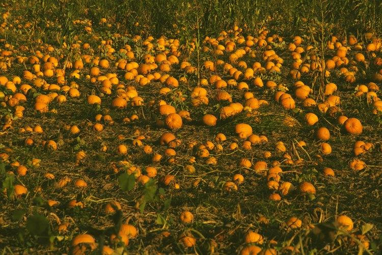 Un campo de calabazas maduras al final de la vida útil de la planta.