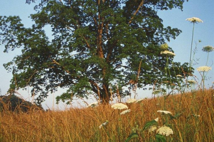 Los nogales son susceptibles a enfermedades causadas por hongos que causan manchas marrones en las hojas.