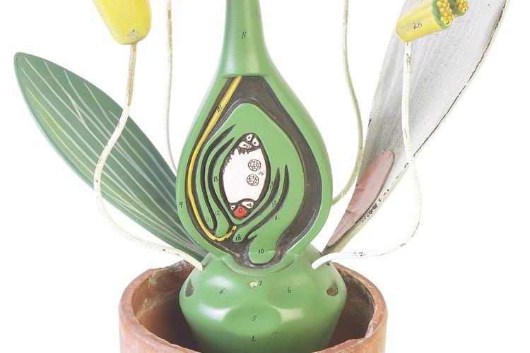Este modelo muestra una flor bisecada, el ovario del pistilo prominente en el centro.