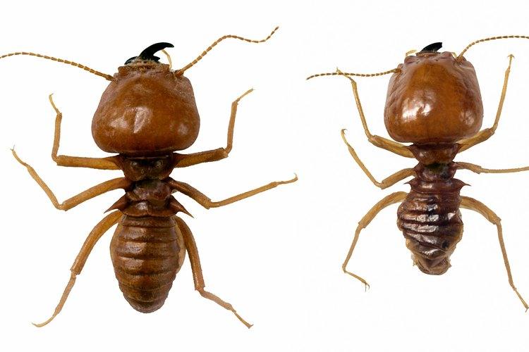 Las termitas y hormigas carpinteras viven en la madera. Su excremento se puede encontrar en las vigas que están a la vista.
