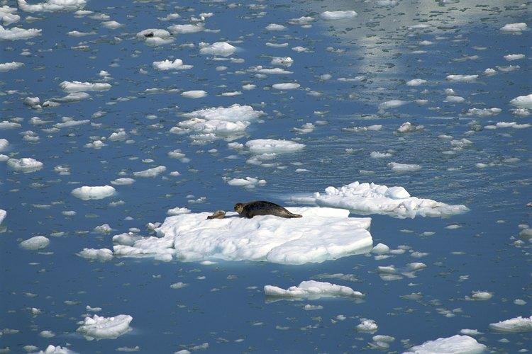 Las focas arpa pasan la mayor parte de su vida nadando.