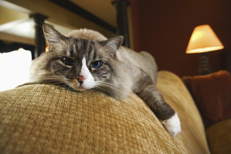 Los gatitos de hoy son a menudo más mimados que los de antaño y sus instintos de cazar ratones tal vez sean disminuidos al ver en su plato alimentos comprados en una tienda.