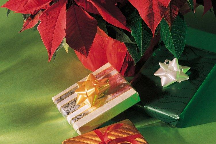 La flor de Nochebuena, de uso sagrado para los pueblos prehispánicos de México, es ahora uno de los símbolos más bellos y representativos de la Navidad.