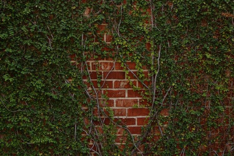 Las enredaderas de hiedra trepan naturalmente a las paredes verticales.