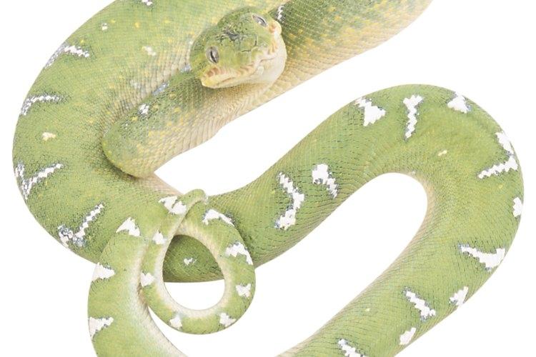 Las serpientes de selva frecuentemente tienen un color verde para mezclarse con el ambiente.