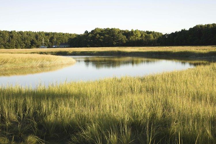 Las hierbas de las marismas y estuarios son el hábitat de peces y aves menores.