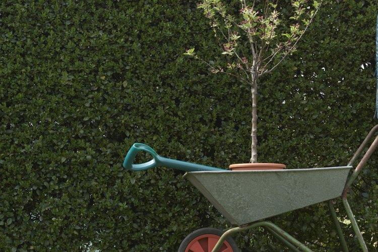 La madera dura y madera semi-dura se refiere a los tipos de corte de árbol utilizados por los jardineros.