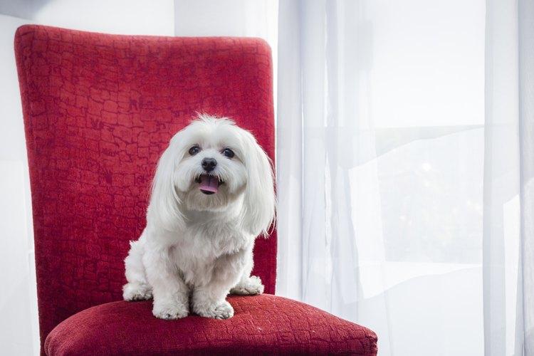 Perro Maltés en una silla.