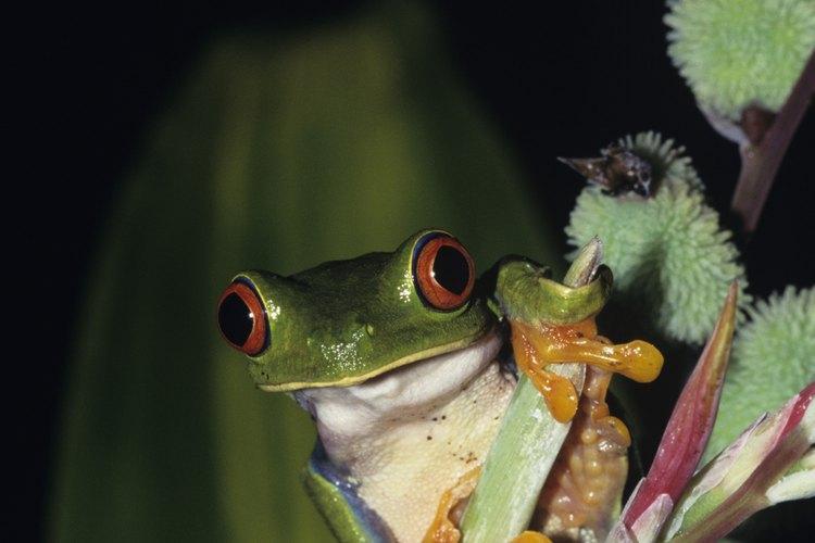 La peligrosa rana corroboree del norte de Australia, tiene varias marcas muy distintivas de color negro y amarillo, a menudo forman líneas verticales.