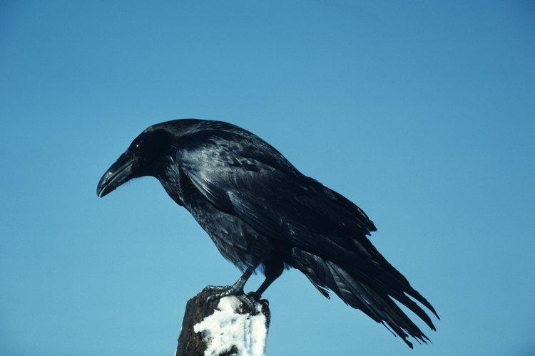 Los cuervos están protegidos por la ley; tenerlos sin permiso es ilegal