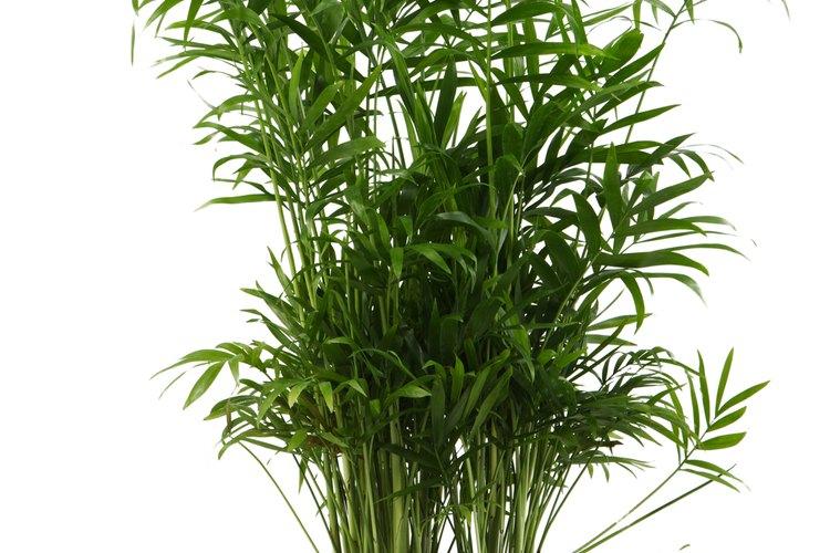 La palma areca a menudo se cultiva y se cuida como planta de interiores.