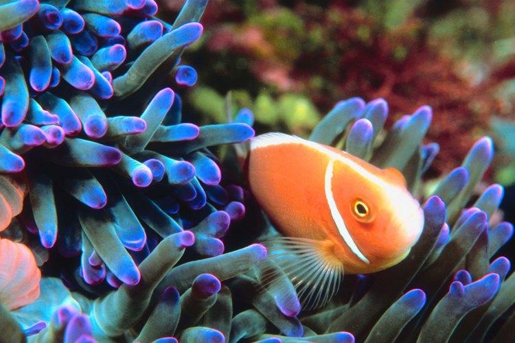 Los peces payaso viven en aguas cálidas y tropicales de poca profundidad.