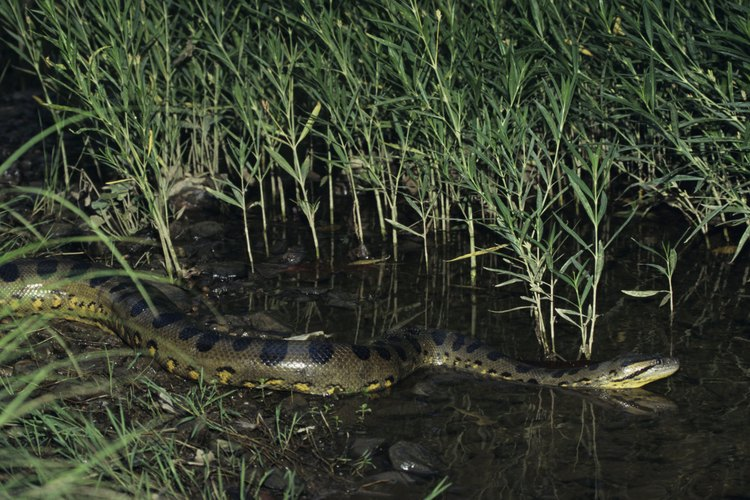 Las anacondas usan camuflaje para engañar a sus presas.