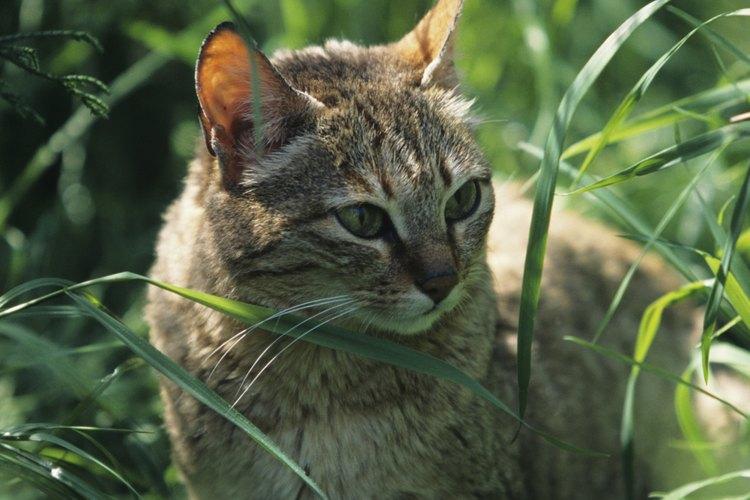 El gato de arena es el único gato que se encuentra casi exclusivamente viviendo en los desiertos de arena.