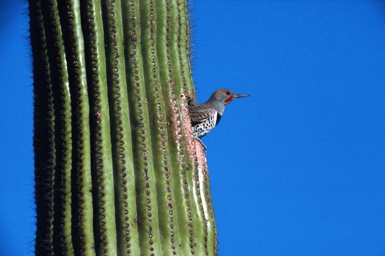 Los pájaros carpinteros Gila anidan en en saguaros altos cerca de las rutas de senderismo de Dove Mountain.