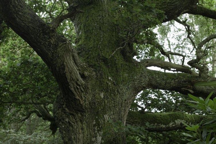 Los árboles de roble tienen troncos gruesos y ramas pesadas.
