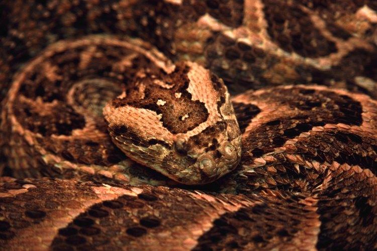 Soluciones caseras para exterminar un nido de serpientes.