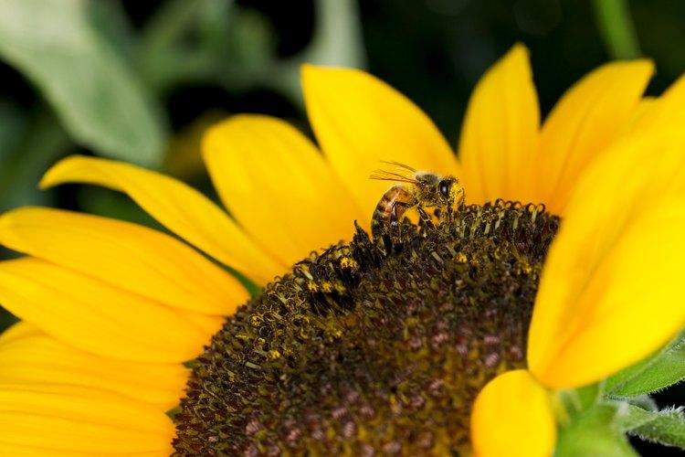 Explica cómo las hormigas, al igual que las abejas o avispas, viven en un grupo llamado colonia.