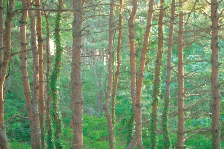 Los troncos de los árboles se clasifican como tallos leñosos.